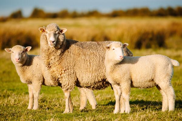 Sheep Images