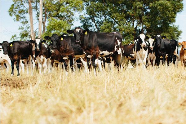 Herd of cows 2